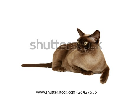 Chocolate Burmese cat