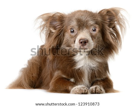 Chocolate Chihuahua on the white background