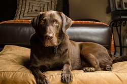 Chocolate lab in a home