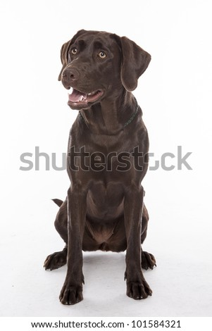 Chocolate Lab (Labrador Retriever)