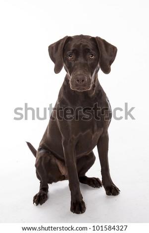 Chocolate Lab (Labrador Retriever)