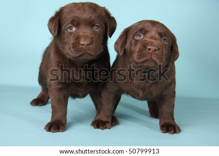Chocolate Labrador Puppies on Of Labrador Dogs Lying Chocolate Labrador Puppy Find Similar Images