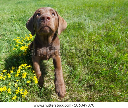 Chocolate lab puppy in the summer time, wide angle.
