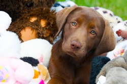 Chocolate lab puppy looking sleepy while surrounded by stuffed animals.