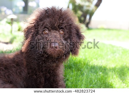 Chocolate labradoodle puppy dog sits on the grass. He is facing forward with alert eyes.  He has just taken a dip in the neighborhood fountain so his face his wet.  He has a cute smirk on his face. #482823724