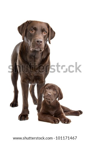 Chocolate Labrador adult and puppy in front of a white background