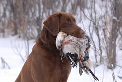 Chocolate Labrador holding duck