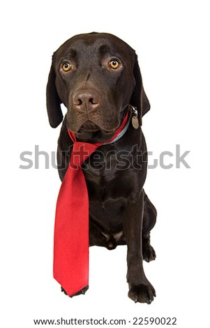 Chocolate Labrador in Red Tie - stock photo