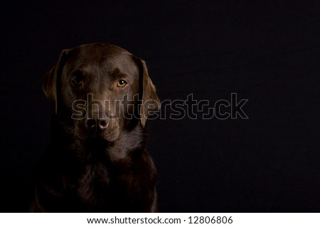 Chocolate Labrador Looking at Camera, with Copy Space to Right