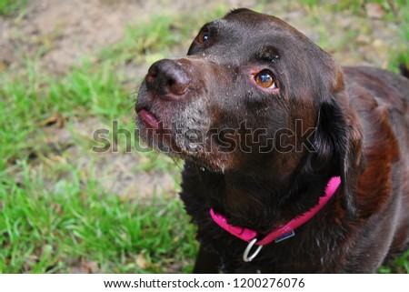 Chocolate Labrador looking up. #1200276076
