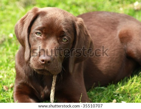 Chocolate  Puppies on Labrador Puppy Three Labrador Puppies In A Find Similar Images