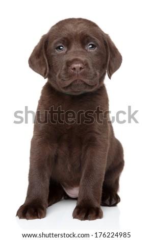 Chocolate Labrador puppy portrait on white background