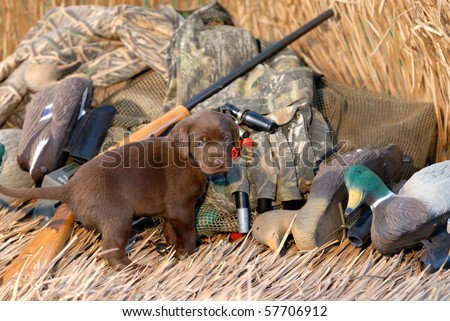 Chocolate Labrador puppy ready for hunting