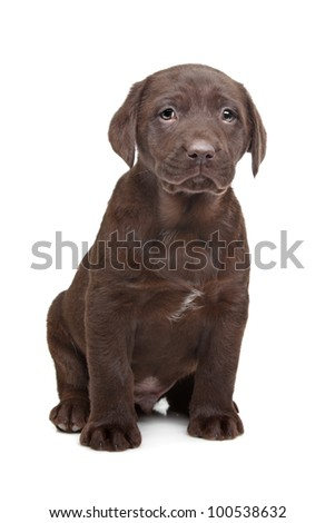 Chocolate Labrador puppy (7 weeks old)