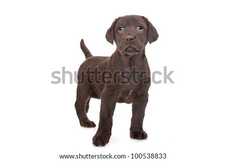 Chocolate Labrador puppy (7 weeks old) - stock photo