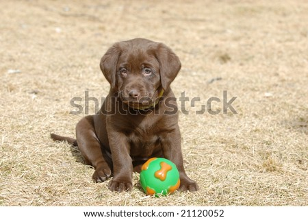 Chocolate  Puppies on Chocolate Labrador Puppy With A Ball Stock Photo 21120052
