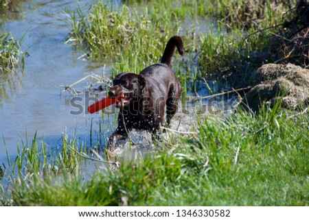 Chocolate Labrador retriever #1346330582
