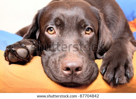 Chocolate Labrador Retriever dog lies and looks sad eyes