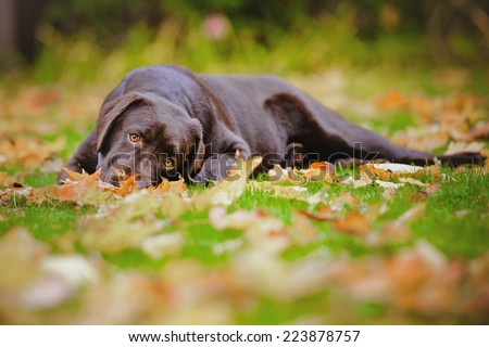 chocolate labrador retriever dog lying down on fallen leaves