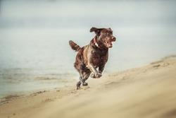 Chocolate labrador retriever dog on the beach
