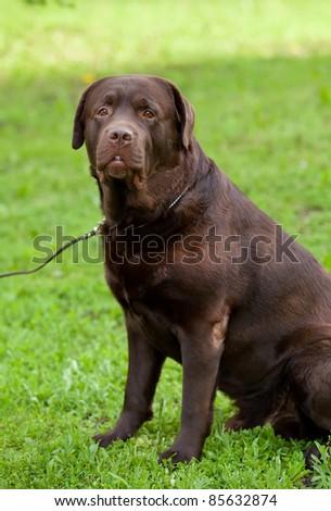 chocolate labrador retriever dog sitting
