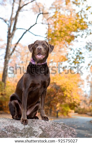 Chocolate labrador retriever dog sitting on a rock , isolated by the fall leaves.