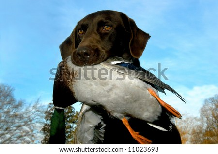 Chocolate Labrador Retriever holds dead mallard duck in his mouth.