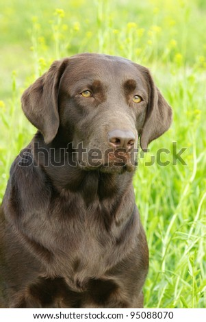 Chocolate labrador retriever in green grass
