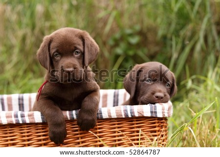 Chocolate Labrador Puppies on Chocolate Labrador Retriever Puppies In A Basket Stock Photo 52864787