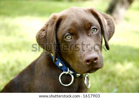 Puppies on Chocolate Labrador Retriever Puppy Stock Photo 1617903   Shutterstock