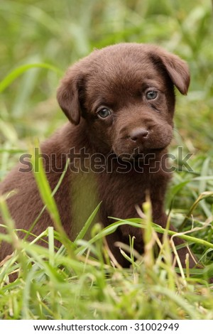 Chocolate Labrador Puppies on Retriever Chocolate Labrador Retriever Chocolate Labrador Puppy Find