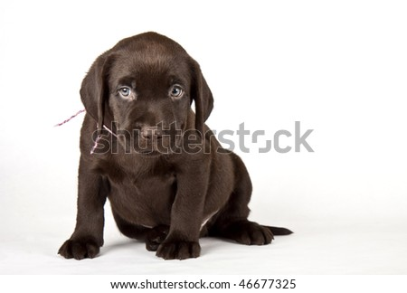 chocolate labrador puppies. labrador retriever puppy