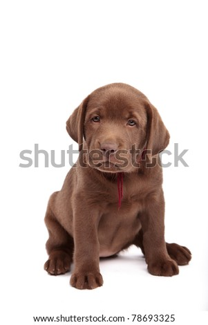 Chocolate labrador retriever puppy in front of white background