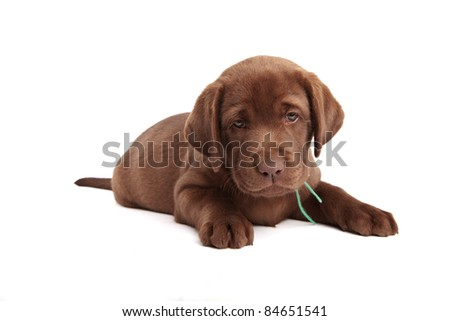 Chocolate labrador retriever puppy in front of white background - stock photo