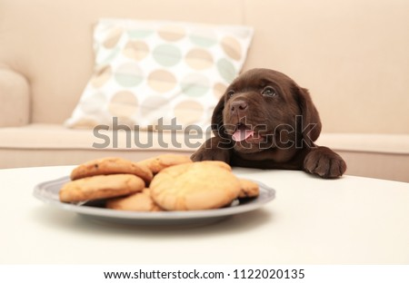 Chocolate Labrador Retriever puppy near plate with cookies indoors #1122020135