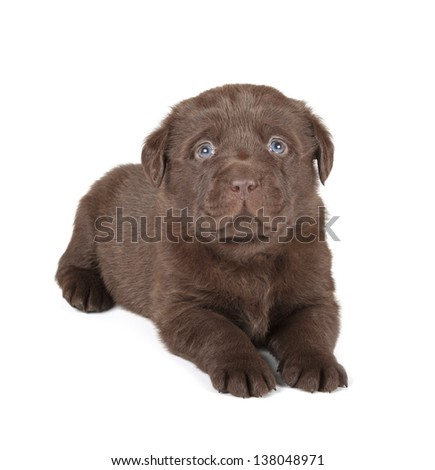 Chocolate Labrador Retriever Puppy (4 week old, isolated on white background)