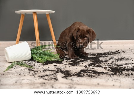 Chocolate Labrador Retriever puppy with overturned houseplant at home Stock photo ©