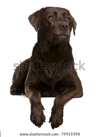 Chocolate Labrador, 4 years old, lying in front of white background