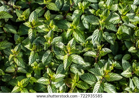Chocolate Mint Bushes From The Family Of Aromatic Plants And Leaves In Perennial Garden For Their