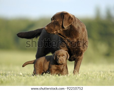Chocolate mom and puppy
