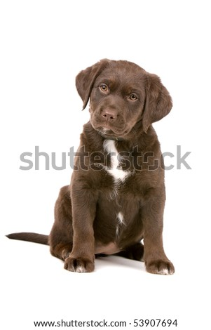 chocolate retriever puppy isolated on a white background