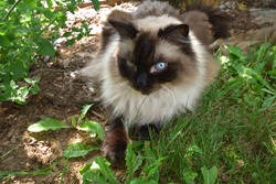 Chocolate Seal Point Adult Male Ragdoll Cat Lying in the Shade of a Garden in Summer