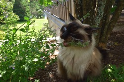 Chocolate Seal Point Ragdoll Adult Male Cat Eating Catmint in the Shade of a Garden in Summer