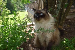Chocolate Seal Point Ragdoll Adult Male Cat Sitting in the Shade of a Garden in Summer