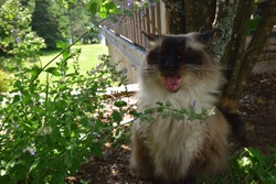 Chocolate Seal Point Ragdoll Adult Male Cat Yawning and Sitting in the Shade of a Garden in Summer