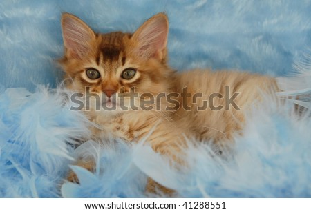 chocolate somali kitten relaxing in blue feathers