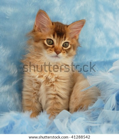 chocolate somali kitten sitting in blue feathers