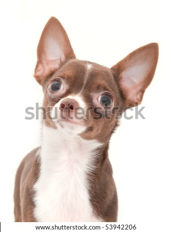 Chocolate with white chihuahua portrait close-up