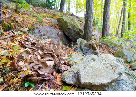 Choice Edible Mushroom, Grifola Frondosa Also Known As Hen Of The Woods And Maitake