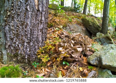 Choice Edible Mushrooms, Hen Of The Woods Growing Near Oak Tree
